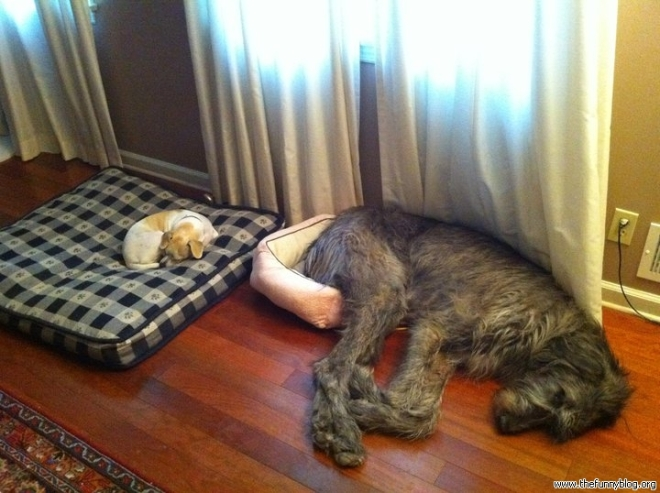 funny-dogs-sleep-sleep-big-small-size-fail